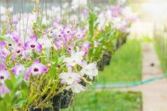 Ferme d'orchidée brouillée pour le fond Images stock