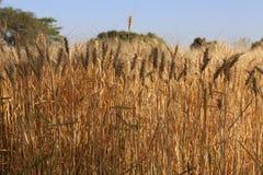 Ferme de blé images libres de droits