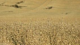 Ferme de blé dans la ferme antique éducative de Butser banque de vidéos