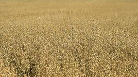 Ferme de blé dans la ferme antique éducative de Butser clips vidéos
