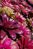 Ferme de BROMÉLIA dans le jardin botanique Photographie stock libre de droits