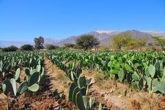 Ferme de cactus Photographie stock