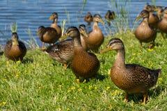 Ferme de canard sauvage Images libres de droits