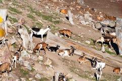 Ferme de chèvre Photo libre de droits