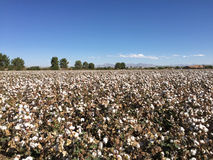 Ferme de champ de coton Photos libres de droits