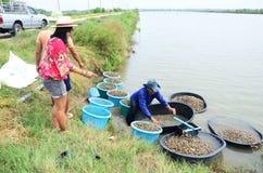 Ferme de coque d'aquiculture de personnes thaïlandaises et capture en vente Photographie stock libre de droits