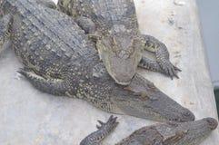 Ferme de crocodile de Samutprakan Image libre de droits
