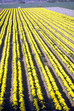 Ferme de fleur, Lompoc, CA Photographie stock libre de droits