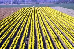 Ferme de fleur, Lompoc, CA Photo libre de droits