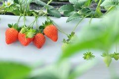 Ferme de fraise Images stock