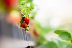 Ferme de fraise Image libre de droits