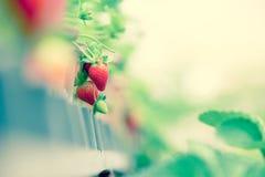 Ferme de fraise Photos stock