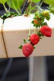 Ferme de fraise Photos libres de droits