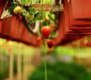 Ferme de fraise Image stock