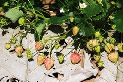 Ferme de fraise Photo stock
