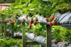 Ferme de fraise Images libres de droits