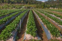 Ferme de fraise chez Chiang Mai, Thaïlande Photos libres de droits