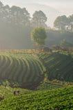 Ferme de fraises dans Chiangmai, Thaïlande Image libre de droits