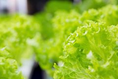 Ferme de légume de culture hydroponique Photos libres de droits