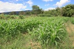 Ferme de maïs image libre de droits