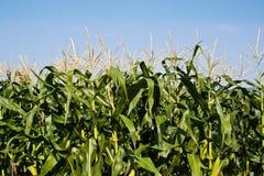 Ferme de maïs de zone pour le bétail alimentant Images stock