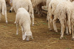 Ferme de moutons Images stock