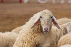 Ferme de moutons Photos libres de droits
