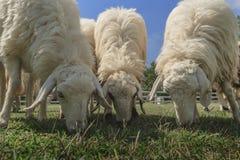 Ferme de moutons Image libre de droits