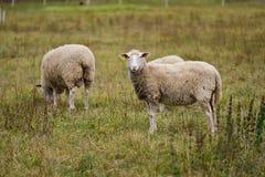 Ferme de moutons Images libres de droits
