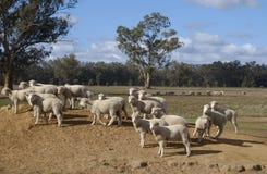 Ferme de moutons Photographie stock