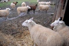 Ferme de moutons, l'état de Washington Image libre de droits