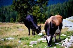 Ferme de moutons, route de Transalpina, Roumanie Photos libres de droits