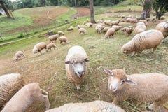 Ferme de moutons sur la colline Photos stock