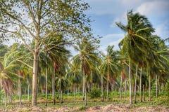Ferme de noix de coco en Thaïlande Photographie stock