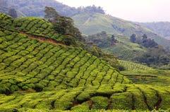 Ferme de plantation de thé en montagnes de Cameron Photo libre de droits