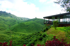 Ferme de plantation de thé en montagnes de Cameron Photographie stock