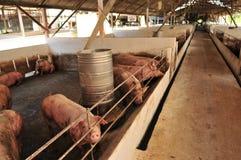 Ferme de porc Photographie stock libre de droits