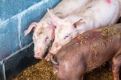 Ferme de porc Photo stock