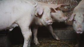 Ferme de porc avec beaucoup de porcs, agriculture clips vidéos