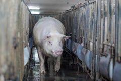Ferme de porcs avec l'agriculture de haute qualité Photographie stock