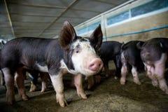 Ferme de porcs avec l'agriculture de haute qualité photos libres de droits