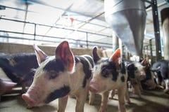 Ferme de porcs avec l'agriculture de haute qualité image libre de droits
