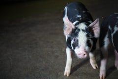 Ferme de porcs avec l'agriculture de haute qualité photographie stock libre de droits