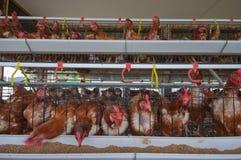 Ferme de poulet Images libres de droits