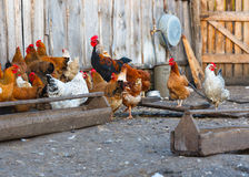 Ferme de poulet photographie stock