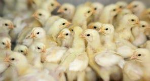 Ferme de poulet Image libre de droits