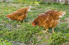 Ferme de poulet images stock