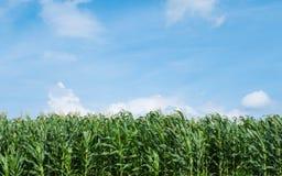 Ferme de pré de vert de champ de maïs et ciel bleu Images libres de droits