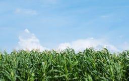 Ferme de pré de vert de champ de maïs et ciel bleu Image libre de droits