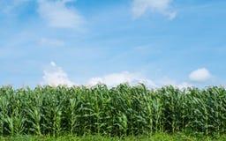 Ferme de pré de vert de champ de maïs et ciel bleu Photographie stock libre de droits